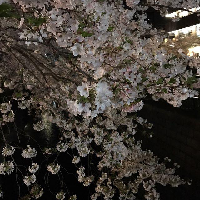 #ギリギリ見れてよかった   #明日の雨で散るかな   #桜吹雪