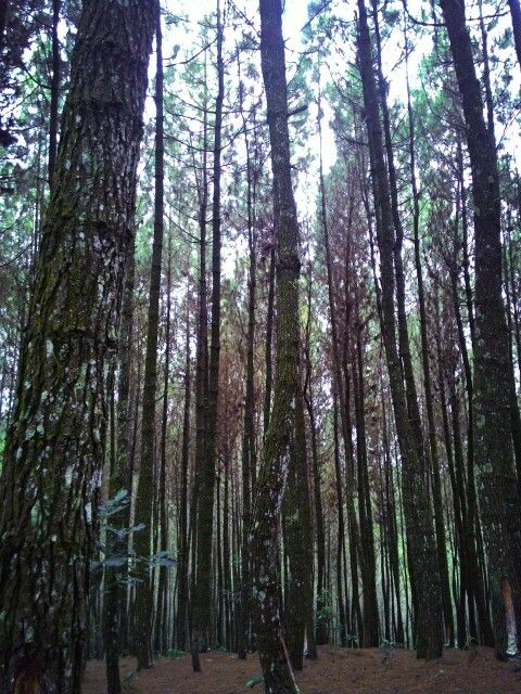 Pine Forest. Bukit Moko, Bandung, Indonesia Taken with : Asus ZenFone 5