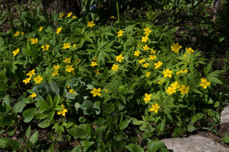 https://flic.kr/p/FZJau7 | Anemone ranunculoides | Anemone ranunculoides (en. Yellow anemone, de. Gelbes Windröschen, fi. Keltavuokko, sv. Gulsippa, no. Gulveis). Hyvinkää, Finland. 4.5.2016.