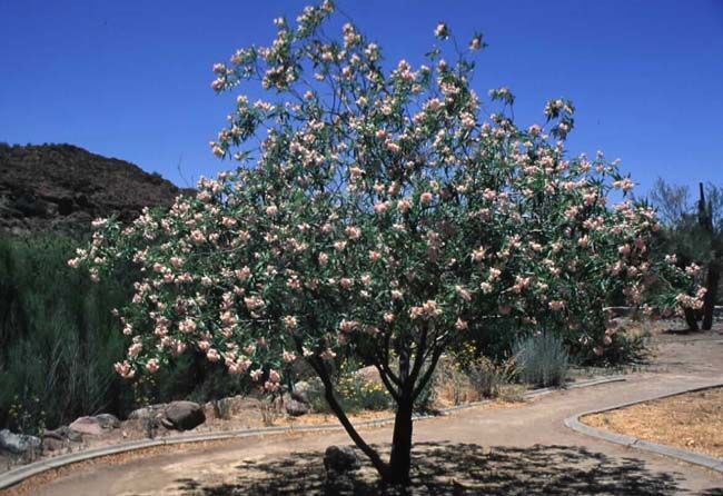 279 best trees images on pinterest gardening for Fast growing drought tolerant trees