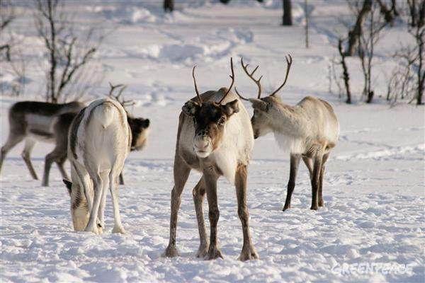 Reindeer northern Finland
