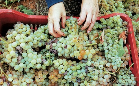 Grapes picked by hands