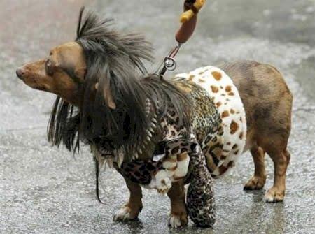 Komik şekilde tıraş edilmiş 14 sevimli hayvan Kediler, köpekler hatta alpakalar... Hepsinin ortak noktası tıraş edilme şekilleri. ♥♥♥