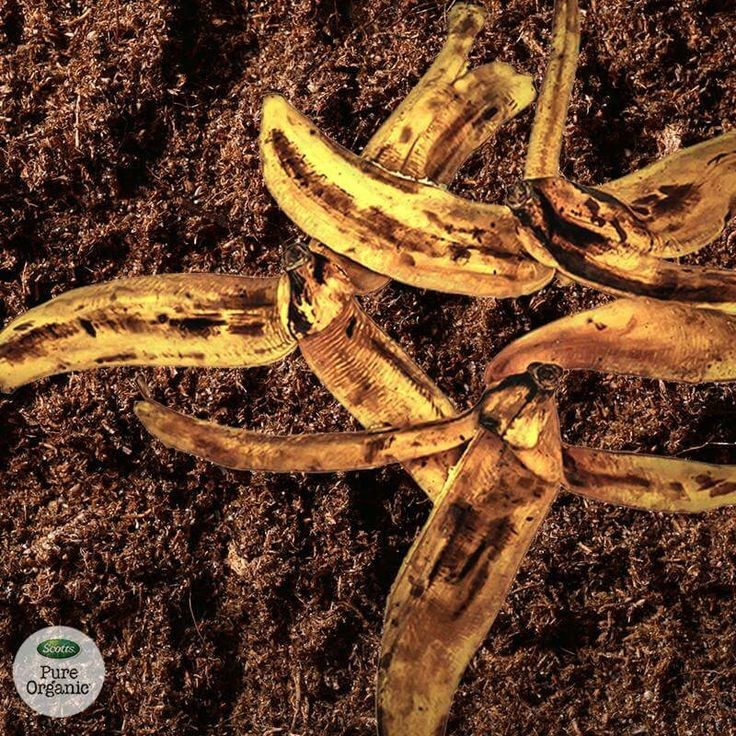 Are your plants in need of a pick me up? Save your banana peels, dry them, then blend with a few cups of water. Add to your plants and watch them grow! What organic gardening tips do you use?
