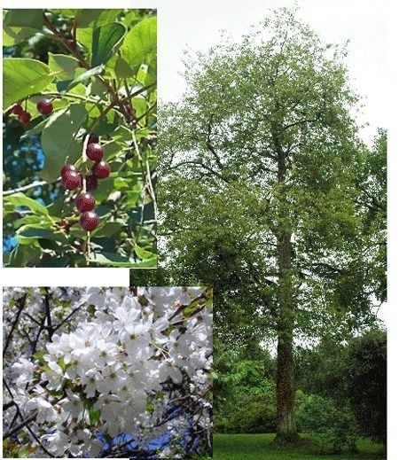 Cherry Tree Seeds ★ MAZZARD ★ Prunus Avium ★ Health Benefits ★ 10 Seeds