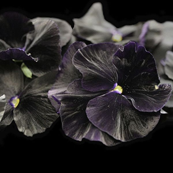 1000 Images About I Want Black Flowers On Pinterest: 1000+ Ideas About Pansy Flower On Pinterest