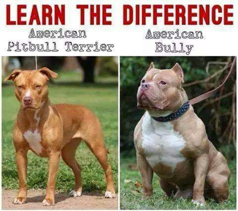 49 best learn the difference between apbt and American ...