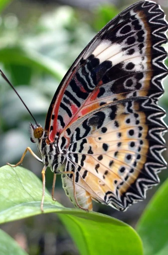 Lacewing Butterfly by redaibtisam