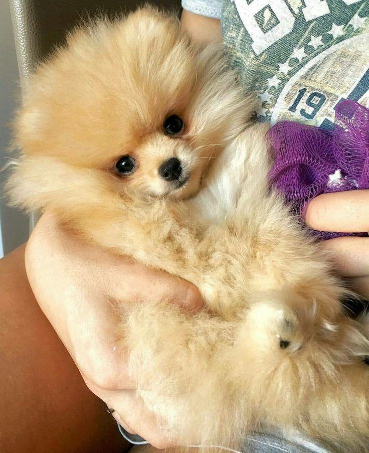1000+ ideas about Teacup Pomeranian Puppy on Pinterest ... | 736 x 903 jpeg 121kB