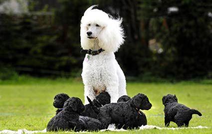 I LOVE POODLES: Poodle Families, Dogs, Black Puppies, Standards Poodle, Poodle Color Pink, Poodle Cut, White Poodle, Black Poodle, Poodle Puppies