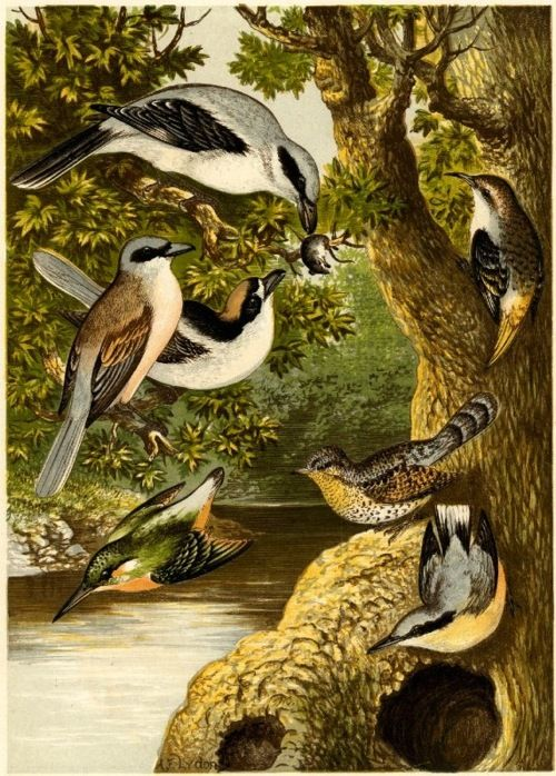 'Seven Birds in a Landscape' - One of four plates printed on the sheet; illustration to H G Adams and H B Adams 'The Smaller British Birds' (London: 1874, Bell); after Alexander Francis Lydon. c. 1874, Wood-engraving, printed in colors.