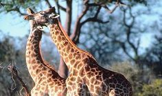 Interesting facts about Giraffe behaviour. The results of the research on thebehaviour of the giraffe. Tiger facts – Interesting facts about tiger Female giraffes associate in groups of a dozen or …
