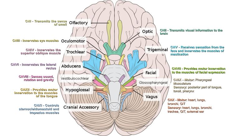 Image result for stimulate the olfactory nerve, located in the nasal cavity