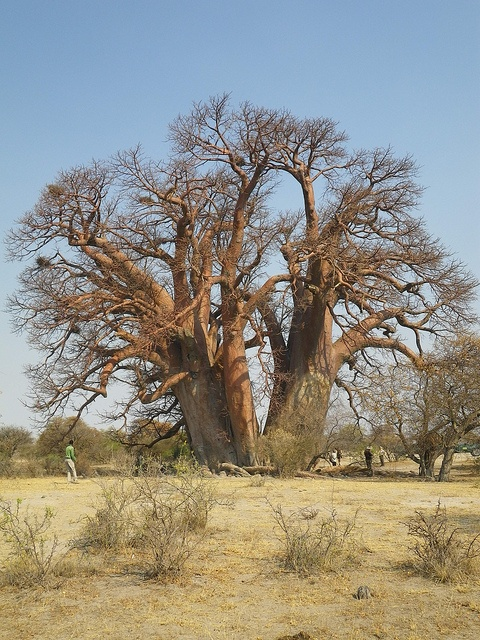 Chapman's Baobab is on the Uncharted Africa Safari co. concession and third largest tree in Africa. It's also Botswana's 'first post office'