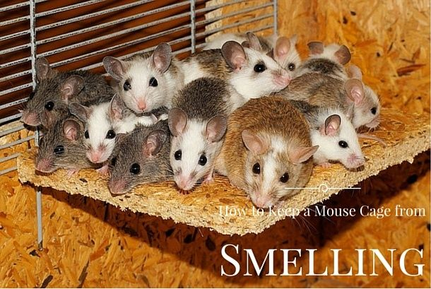 Need to know how to keep a mouse cage from smelling? Even with male mice you can stop a cage smelling and have a fresh scented room following these tips