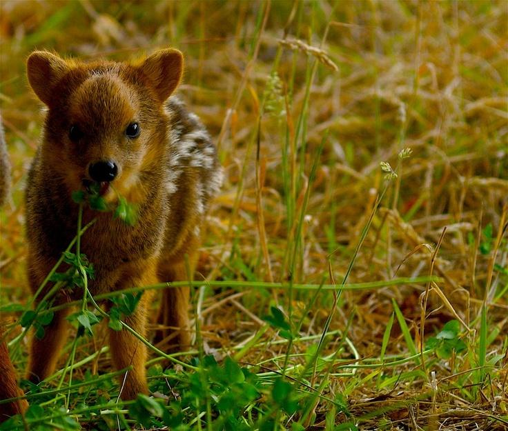 El Pudú es un pequeño cérvido que habita en los bosques del sur de Chile.