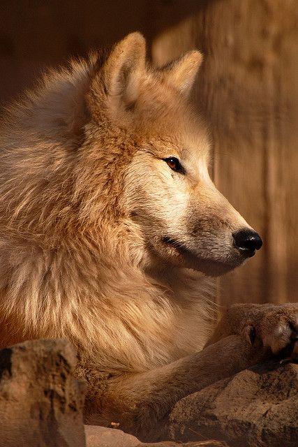 Wolf / Farkas by Kisribizli on Flickr.
