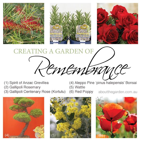 Six plants to create a garden of remembrance this Anzac Day #anzac #garden #plants #rosemary #grevillea #rose #aleppopine #wattle #poppy #aboutthegarden
