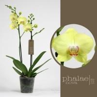 Fuller Sunset Phalaenova | kwekerij van phalaenopsis orchideeën