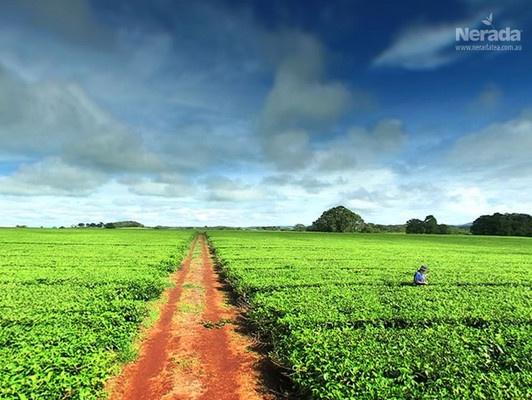 Malanda, QLD. Nerada tea planted by the Benson family 30 years ago