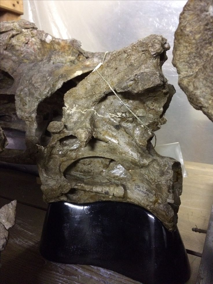 Axis vertebra of Brachiosaurus