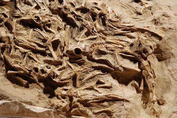 """Nido di dinosauri!   Largo appena 70 centimetri, il nido è stato definito """"mozzafiato"""" da David Fastovsky, paleontologo della University of Rhode Island e coautore dello studio sul nido, recentemente pubblicato su Journal of Paleontology.    Diversamente da altri nidi fossili in cui state ritrovate solo delle uova, i cuccioli di questa nidiata sembra avessero circa un anno di vita al momento della morte."""