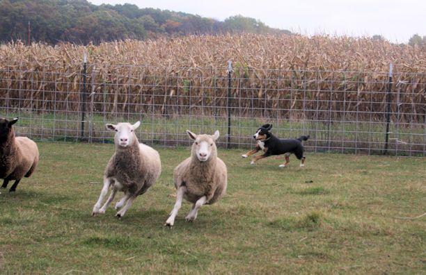 Data herding sheep at his Instinct test in fall 2013.