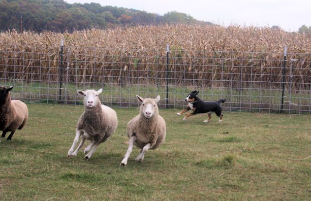 Data herding sheep at his Instinct test in fall 2013.