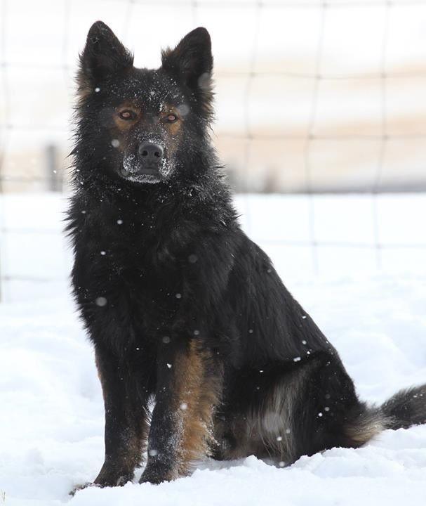 DDR long coat black sable German shepherd