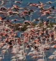 Fenicotteri rosa  Valli di Comacchio