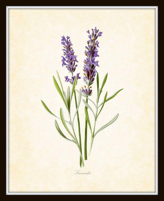 French Lavender Antique Botanical Art Print 8 x by BelleBotanica, $10.00