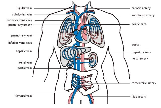 how to learn the circulatory system