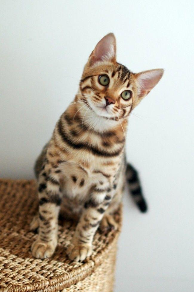 Бенгальский кот (фото): маленькая копия леопарда