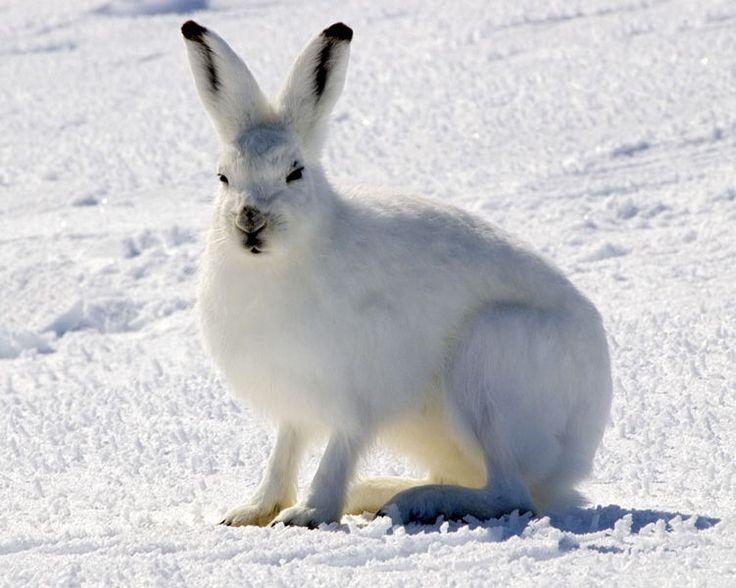 Liebre ártica. Es una de las liebres más adaptadas como habitante de las regiones polares y montañosas. Está distribuida en regiones como la tundra de Groenlandia y Escandinavia, extensas zonas de Canadá y Alaska.