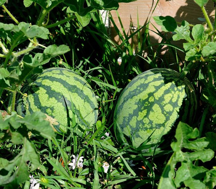 As a teen and young woman, my mother seeded and weeded acres of watermelons by hand and sold the results of her labor for pennies a pound. The results for both her body and the watermelons were beautiful!