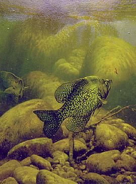 Vertical Crappie  Painting by Larry Tople  Fish art  Pinterest  Fish and Bass fishing