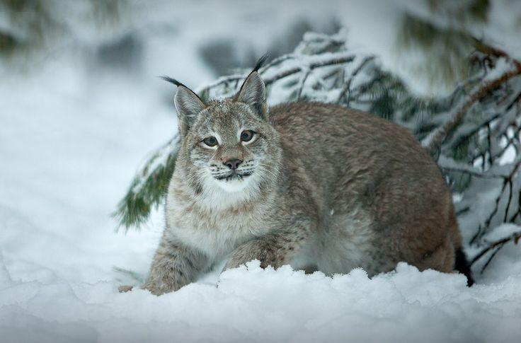 яндексе рысь сибирская фото животного устранению выступания