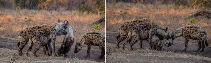 Join us for a trip to Umkumbe Safari Lodge! There's always something exciting to see. Take a look at this clan of spotted hyenas asserting dominance over a younger male.
