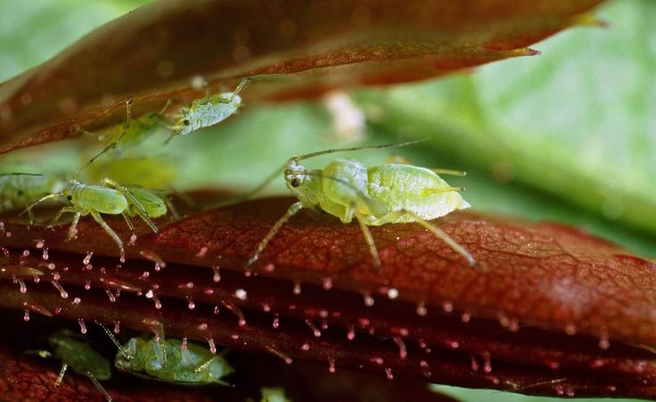 Blattläuse tauchen im Frühjahr oft wie aus dem Nichts auf und machen sich mit ihren stechend-saugenden Mundwerkzeugen über die jungen Blätter und Triebe vieler Pflanzen her. Lesen Sie hier, welche Hausmittel gegen den Blattlaus-Befall helfen.