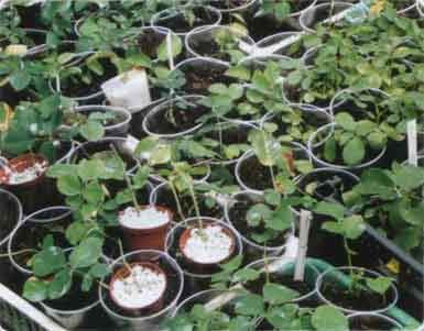 Саженцы корнесобственных роз