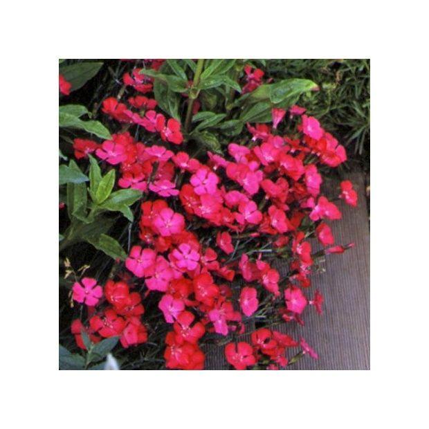 Oeillet deltoïde rouge - Plantes et Jardins