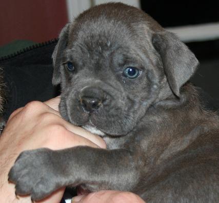 Cane Corso Mastiff. Makes me miss Bella :(