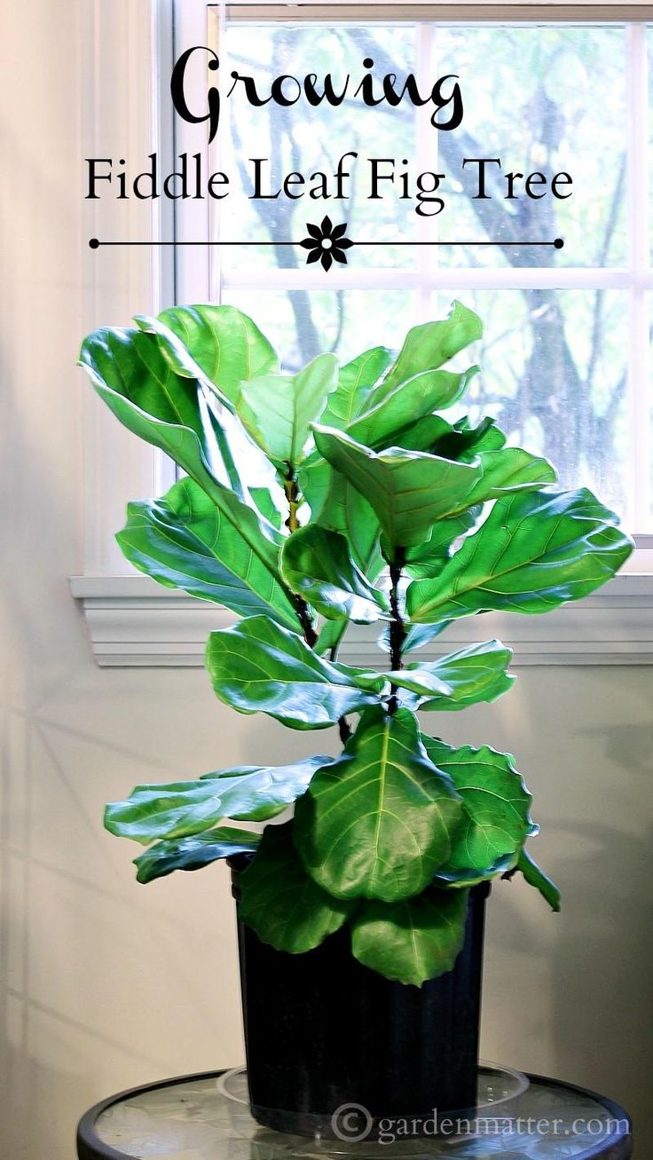 Growing A Fiddle Leaf Fig Tree Plants Houseplant And Trees