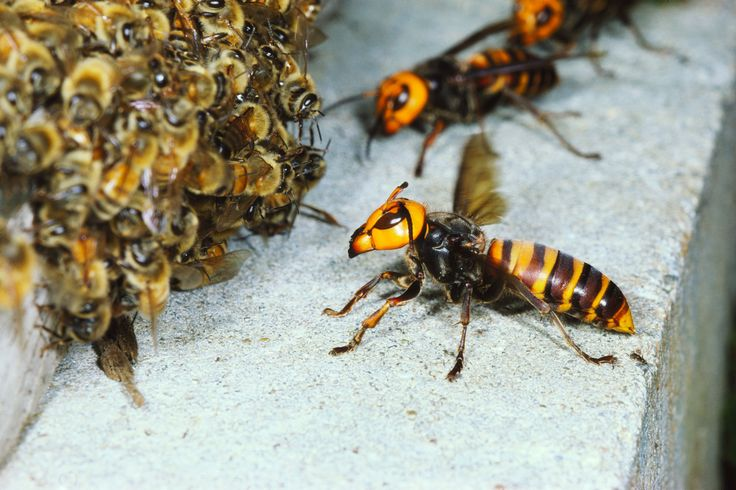 Absurd Creature of the Week: The Huge, Bee-Decapitating Hornet That Can't Survive Group Hugs | Asian giant hornets trying to make friends with some honey bees just kidding they're going to massacre the little things.  | Credit: Satoshi Kuribayashi/Minden Pictures | From WIRED.com