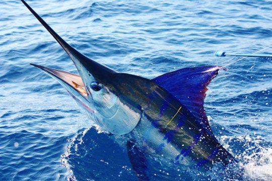Black Marlin Fishing Blog » Port Ever Consistent