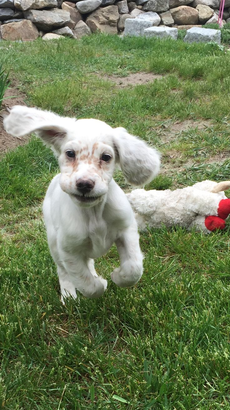 Penny, our English setter puppy, flying!