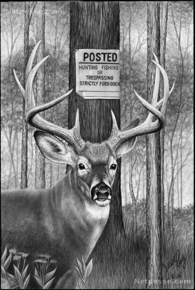 Whitetail Deer Pencil Drawings Click for bigger photo