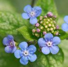 Brunnera 'Jack Frost' In early spring, large, mid-green heart-shaped leaves that look as though they have been dusted with silver appear, followed by tall sprays of tiny, bright blue forget-me-not-like flowers. Gorgeous ground cover for the front of a border.