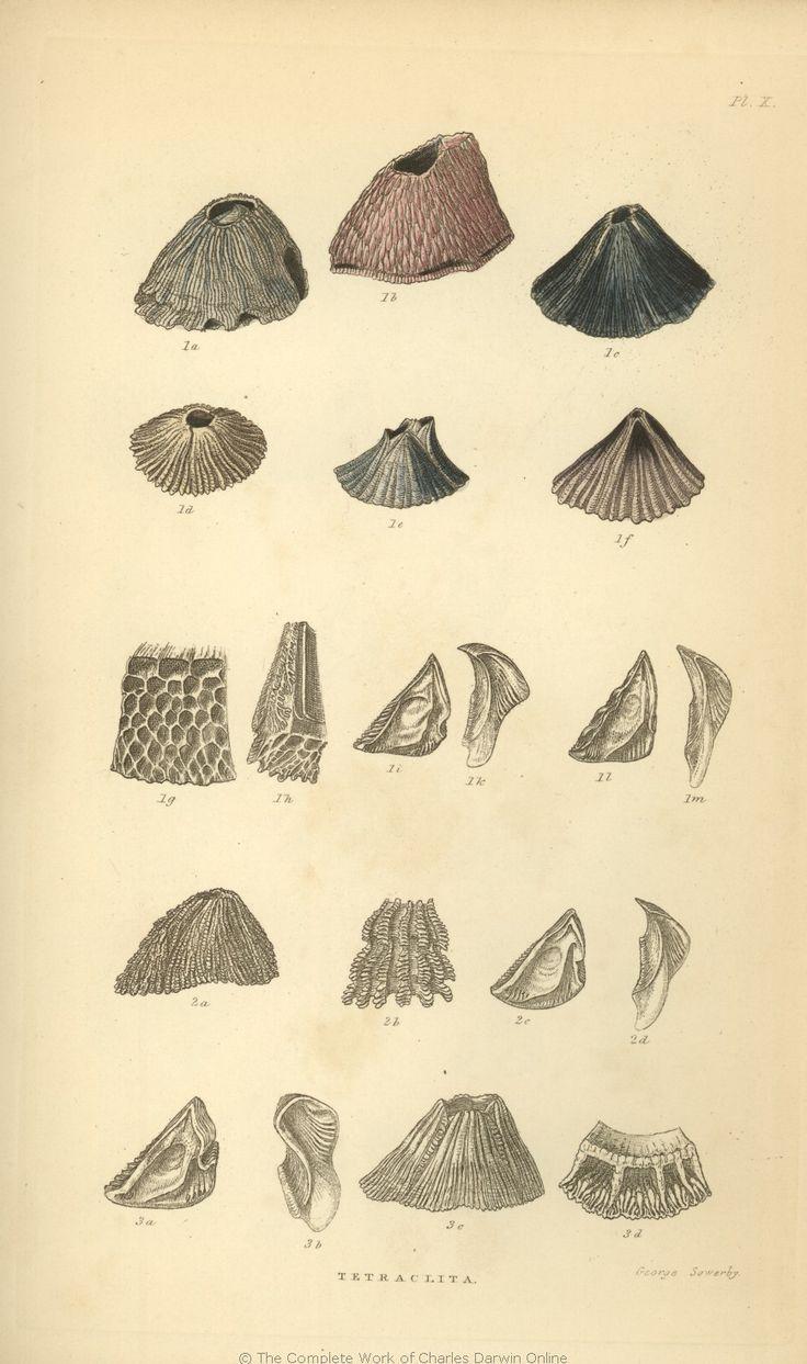 Darwin's Barnicle Sketch