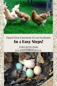 Take these 2 easy steps to get your chickens to lay in their nesting boxes!